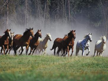 wild horses on the plain