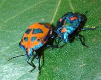 Cotton_Harlequin_Bugs