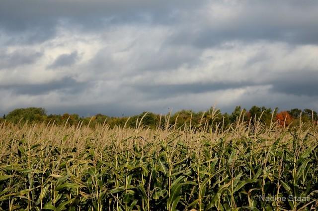 cornfield-pei